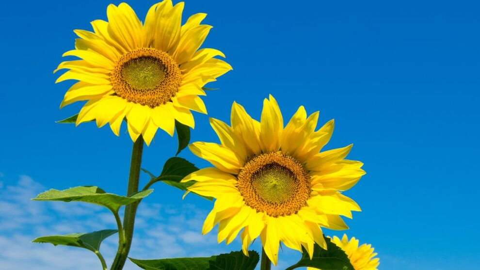 Cut-your-own sunflowers at Rogish Farm in Chesterland: How to make a reservation